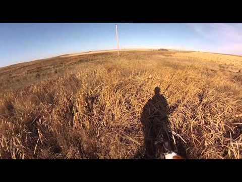 8 Month Old Otter Creek Brittany Pheasant Hunting