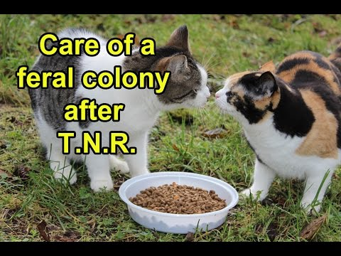 Care of a feral cat colony after TNR