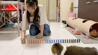 ドミノ100個並べたいママVS親子猫