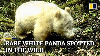 Rare white panda spotted in the wild