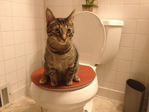 teach cat to use toilet