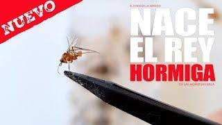 Gambar cover NACE EL REY HORMIGA BALA 😍 POR FIN !