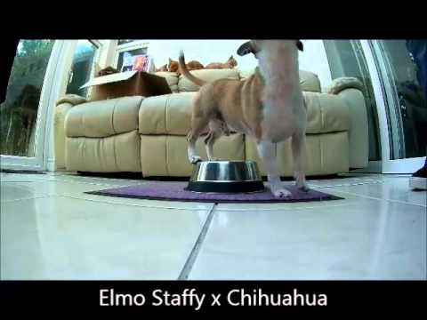 Elmo Staffy x Chihuahua - Trick A Day For A Month - 31 + dog tricks