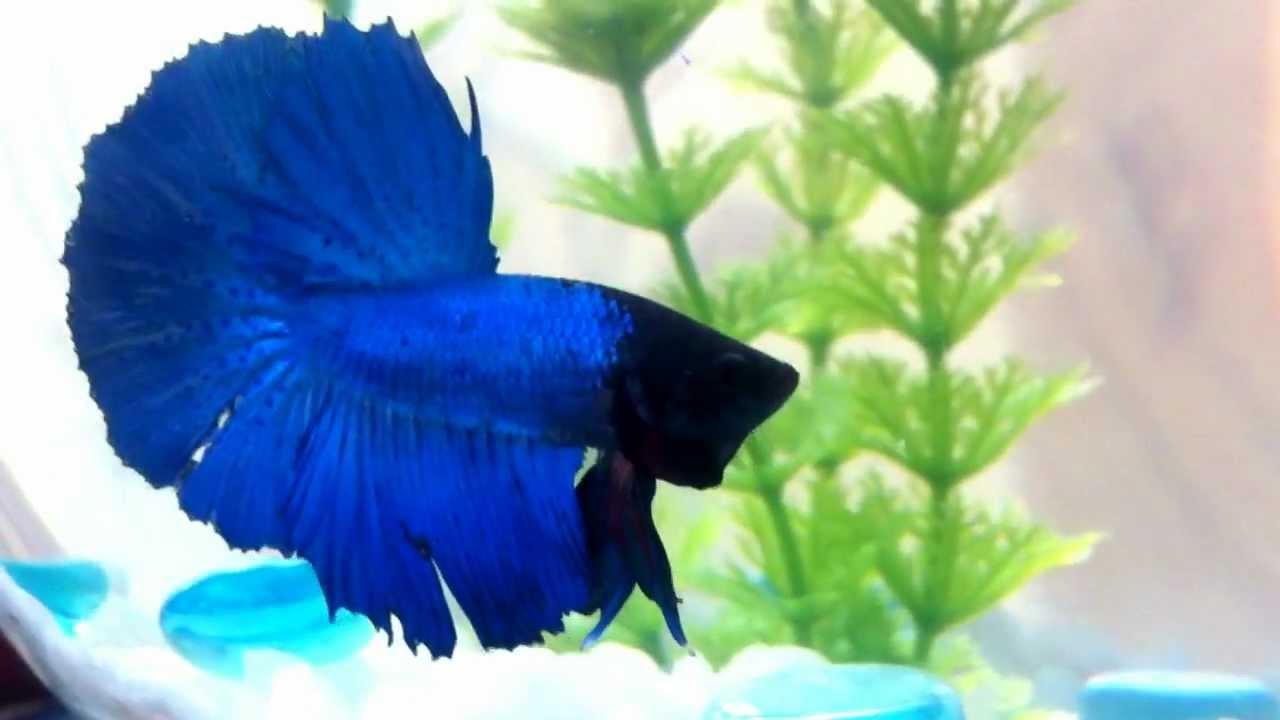 синий петушок рыбка фото