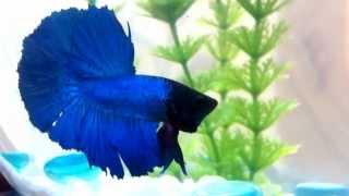 Бойцовская рыбка петушок Филипп