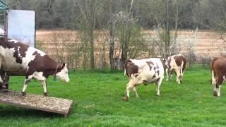 Sortie de bétaillère - premiers pas dans les champs pour les génisses - Gaec des forges