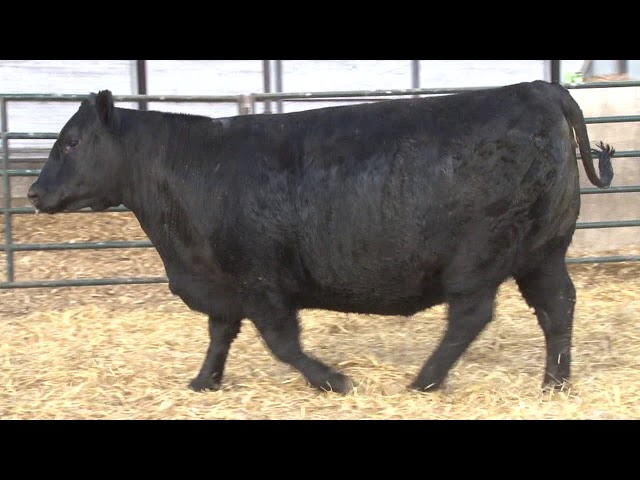 Schiefelbein Angus Farms Lot 384
