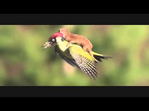 Weasel Photographed Riding On A Woodpecker's Back