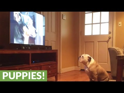 Bulldog has strange reaction to specific puppy on TV