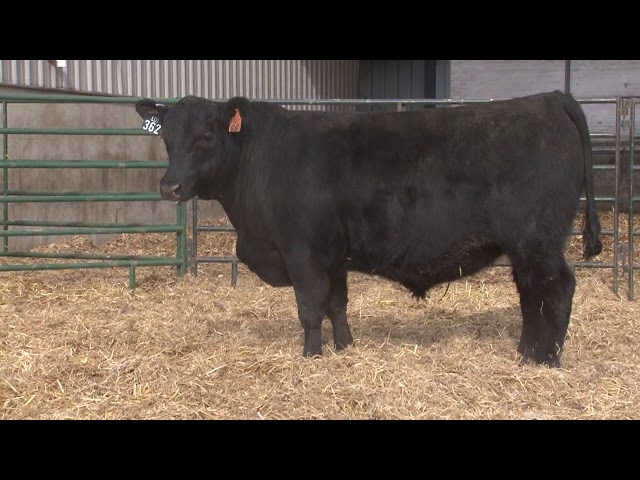 Schiefelbein Angus Farms Lot 362
