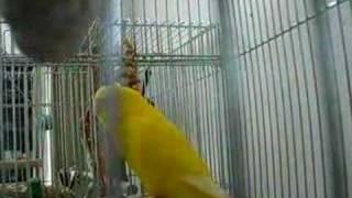 12月が誕生月なので、ちょっと歌ってみました。My parakeet,Piyotan,is ...