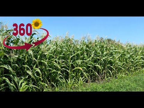 Кукурузное поле. Ульяновская