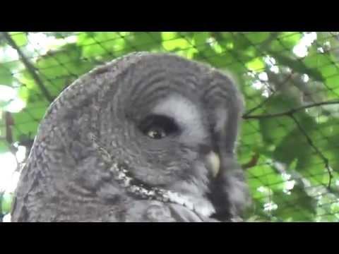 Great Gray Owl (Strix nebulosa) Prague Zoo לילית אפורה