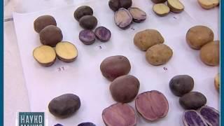 Наукомания.Картошка. Достижения учёных в области картофелеводства.