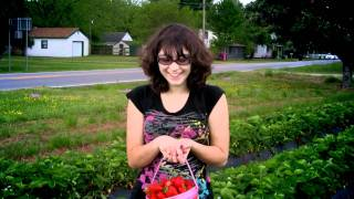 Strawberry Picking in Pongo, Virginia