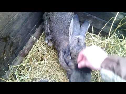 Как узнать беременна крольчиха или нет видео