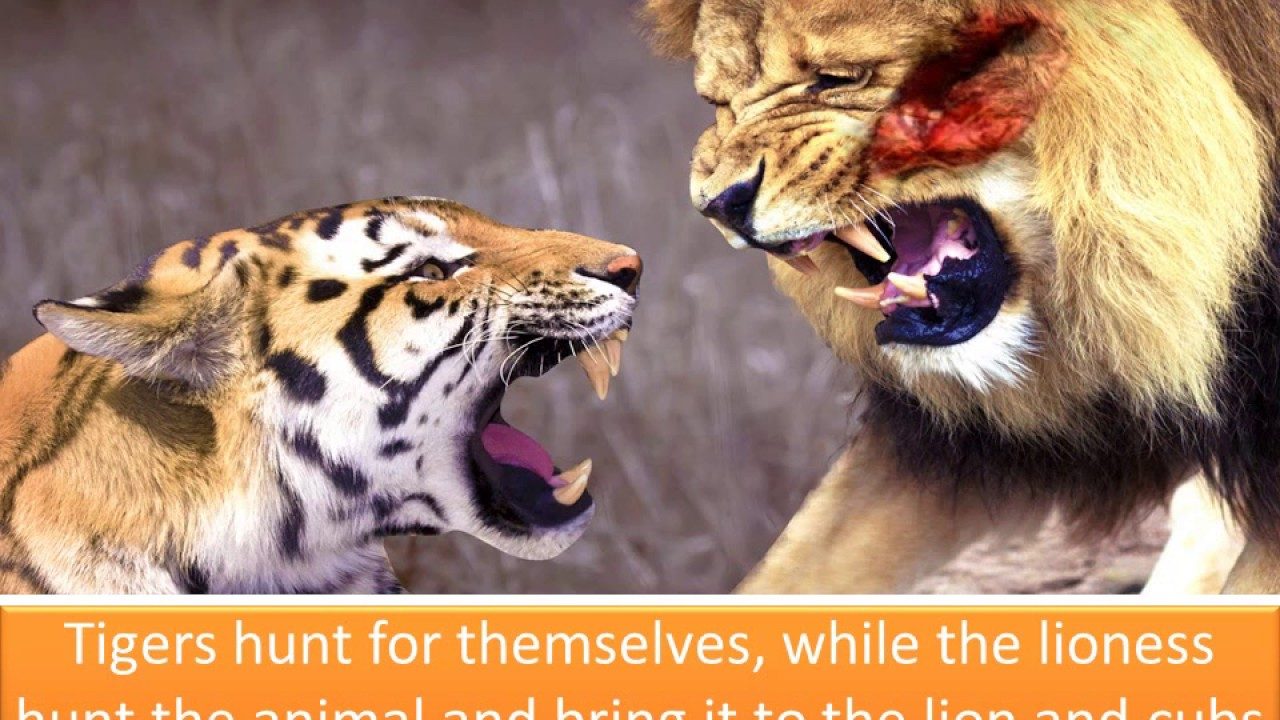 DIFFERENCE BETWEEN LION & TIGER