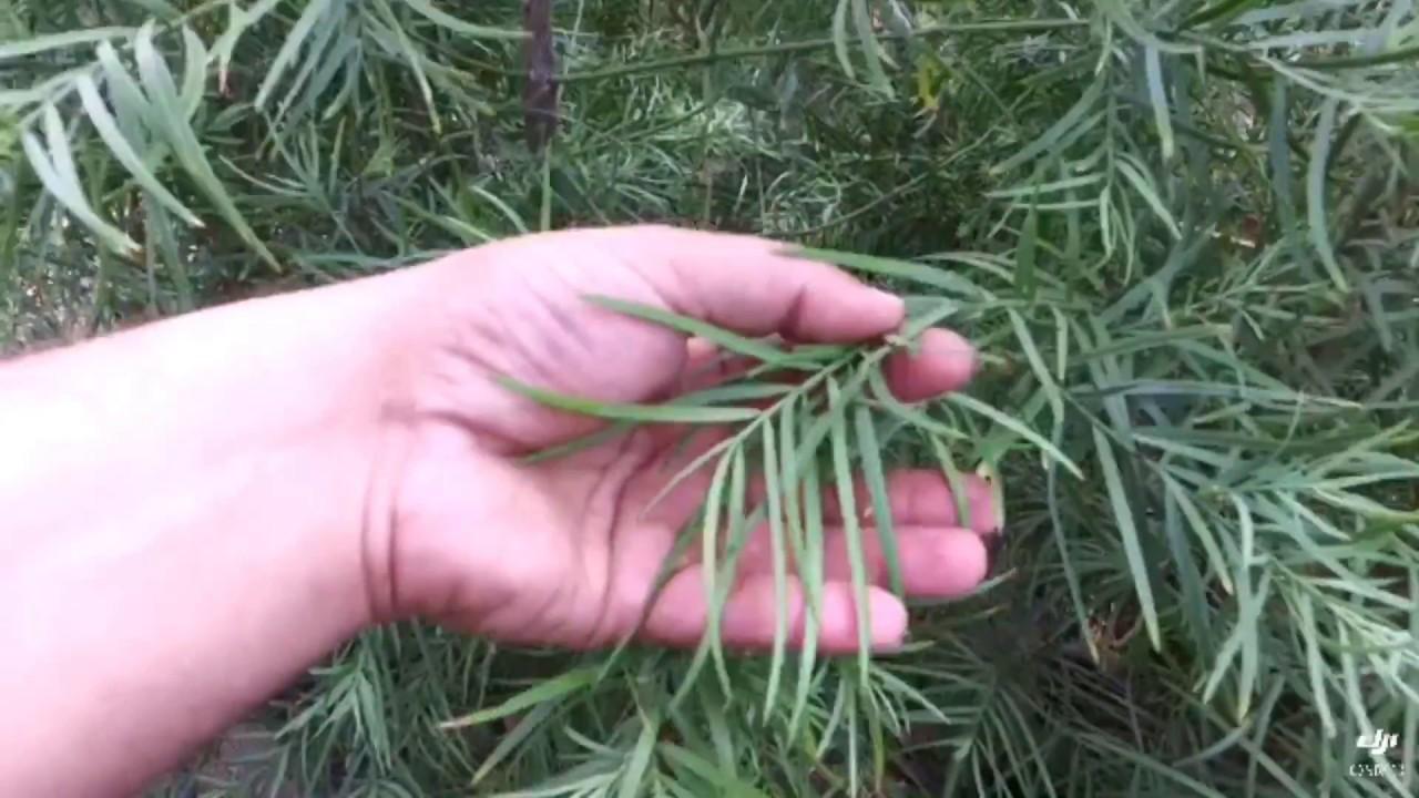 Podocarpus Gracilior 15 Gal