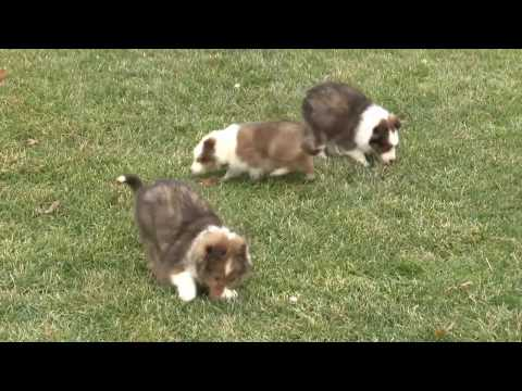 Jacob Hershberger's Shetland Sheepdog Puppies