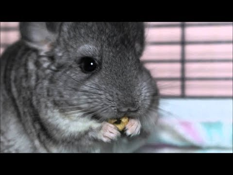 Chinchilla funny and cute videos 2017. Funny animals eating.