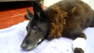 Багира после отравления в клинике.