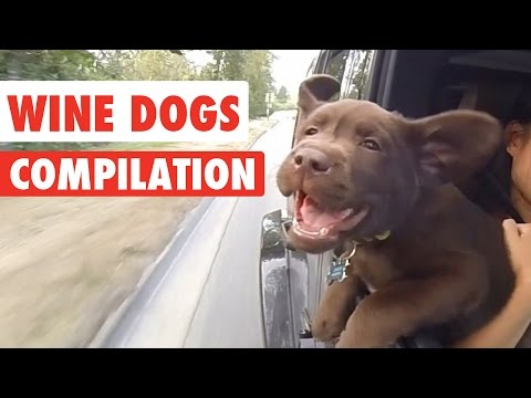 Wine Dogs Video Compilation 2017