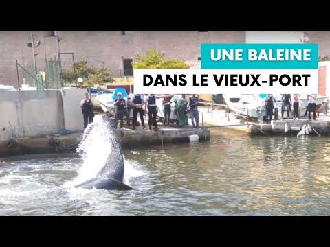 Une baleine retrouvée dans le Vieux Port de Marseille