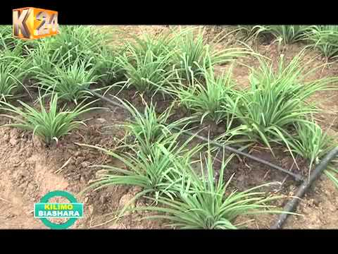 Kilimo Biashara: Tuberose Flower Farming