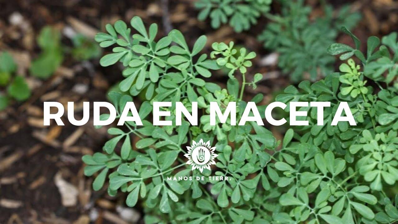 Como Plantar RUDA En Maceta/cuidados, riego, clima, tierra ideal/manos de tierra