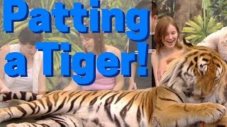What It's Like To Pat a Bengal Tiger! ~ Dreamworld Australia Photo Experience With Sultan