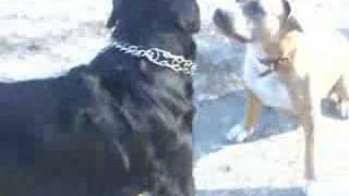 Pitbull & Rottweiler thumbnail