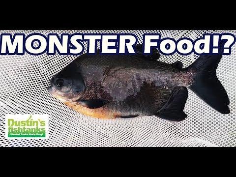 INSANE Aquarium Fish AQUACULTURE Lab VISIT. GIANT PACU FOOD FISH!- Part Four