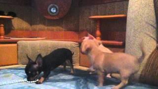 Видео щенков чихуахуа мини и стандарт(, 2013-03-09T08:55:23.000Z)