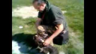 Addestramento Springer Spaniel Al Riporto Nella Caccia Dei Tordi