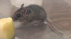 A deer mouse in the house