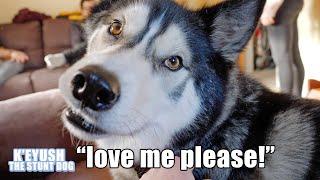husky-won-t-stop-talking-until-everyone-loves-him