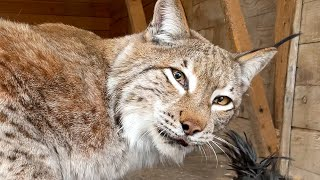 BOBCAT RUFUS GOT SCARED OF LYNX MARTIN / Lynx Hannah started having strange behavior