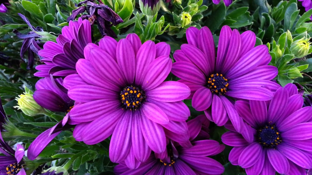 Osteospermum Deep Purple Dwarf African Daisy Hd 02 Youtube