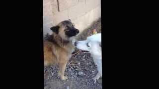 Собачья драка.(через YouTube Объектив., 2013-12-04T04:54:51.000Z)