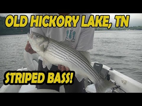 Catching Stripers At Old Hickory Lake TN
