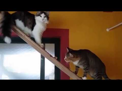 Norway Forest Cat Baby enjoy a soft Game