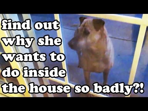 why-this-dog-wants-to-go-inside-the-house-so-bad---mystery-story-solved---dogs-funny-videos-jazevox