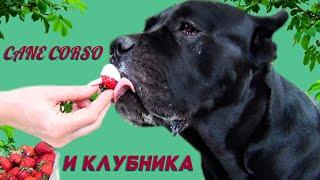 Собака Кане Корсо и клубника. #canecorso #dogs #собаки