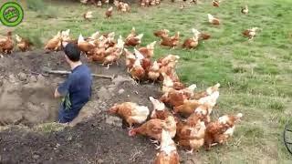 Z kurami też trzeba się dogadać