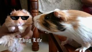 Guinea Pig Vs Hamster || Chichi Vs Coco  - SidfromPune