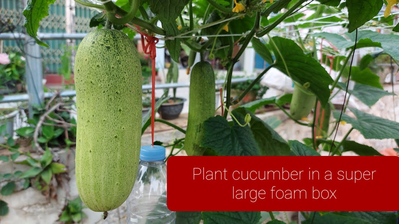 Cách Trồng Dưa Leo Trong Hộp Xốp Quả Siêu To ( how to grow cucumbers in a super large foam box )
