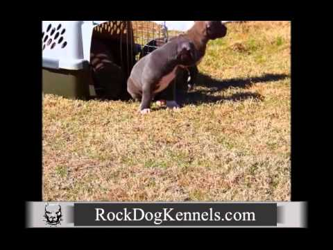 American Pitbull Terrier Blue Puppies For Sale Augusta Georgia