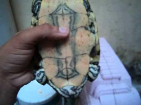 tortuga pavorreal, jicotea (trachemys venusta)