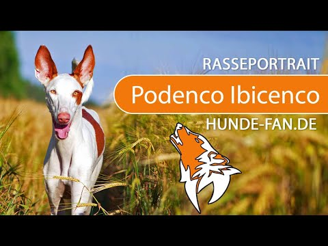 Podenco Ibicenco [2019] Breed, Appearance & Character