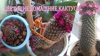 Цветущие домашние кактусы.Уход за кактусами в домашних условиях.Как часто поливать кактус в домашних